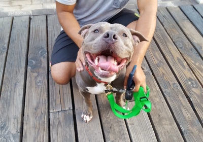 #pitbulltraining #lovepitties #smallandlargedogtraining #barkbusterssandiegodogtrainer