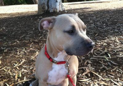 #pitbulllove, #pittbullsofinstagram, #BarkBustersHomedogtraining