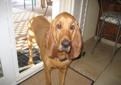 #hounddogtraining, #bigdogtraining, #barkbustersdogtrainingsandiego