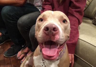 #pittielove #dogsmiling #largedogtrainer, #anyageanysizeanybreed