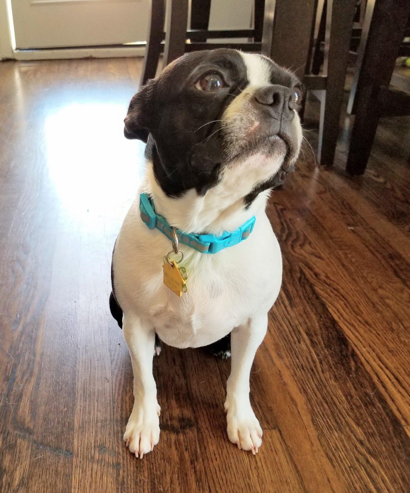 #bostonterriertraining, Bark Busters Home Dog Training San Diego