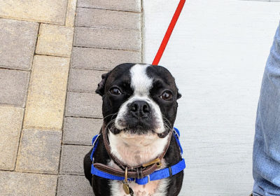 #dogtrainingsandiego,#bostonterrier, #smalldogtraining