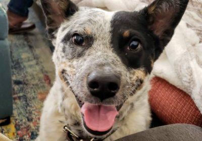#aussiecattledog, #barkingoutofcontrol, #dogtrainingsandiego, #barkbustersaustralia