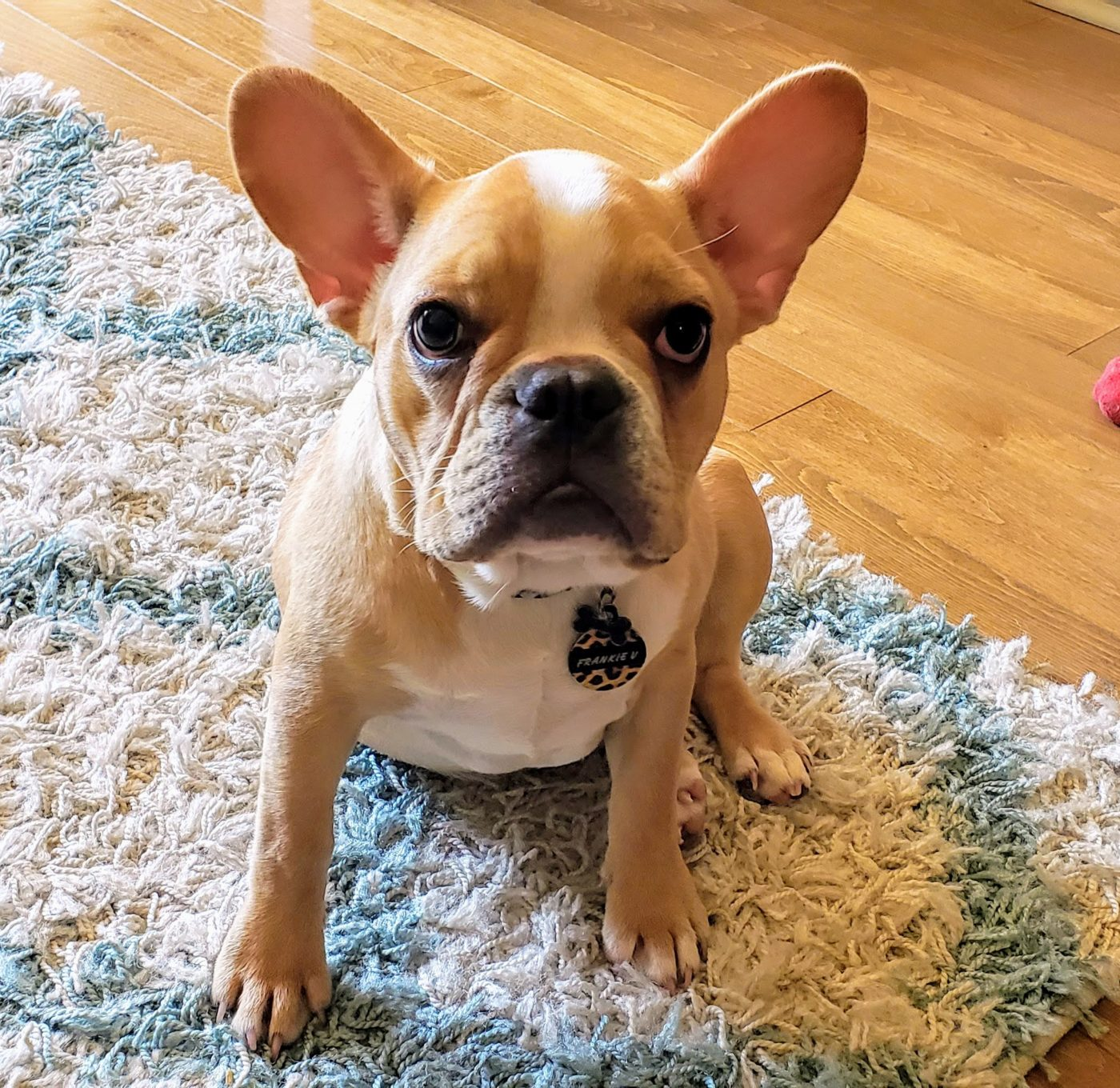 #housebreaking, #frenchbulldogpuppytraining, #prodigyppuppy