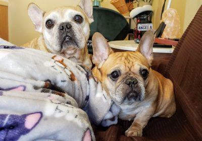 #frenchbulldogs, #separationanxity, #barkbusterssandiego