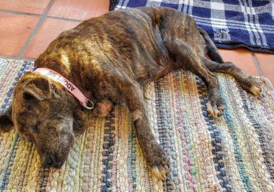 #streetdogsfrommexico, #upforadoption, #dogsinfostercare, #healing, #barkbusterssandiego