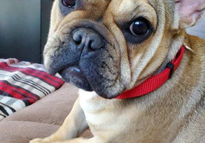 #dogtrainingsandiego, #sandiegobarkbusters, #frenchbulldogpuppy, #barkbustershomedogtraining