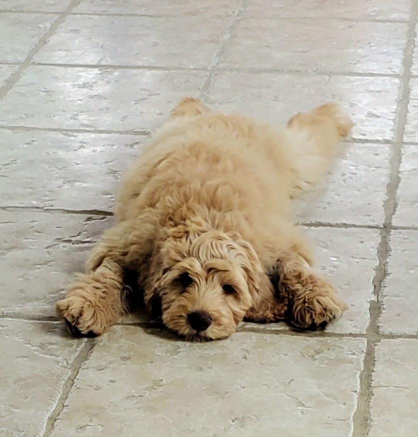 #prodigypuppy, #goldendoodle, #pottytraining, #dogtrainersandiego, #dogbehavioraltherapist