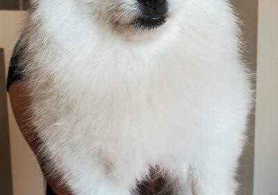 #pomeranianpuppy, #housebreakingapuppy, #puppytraining, #barkbusterssandiego, #dogtrainingsandiego